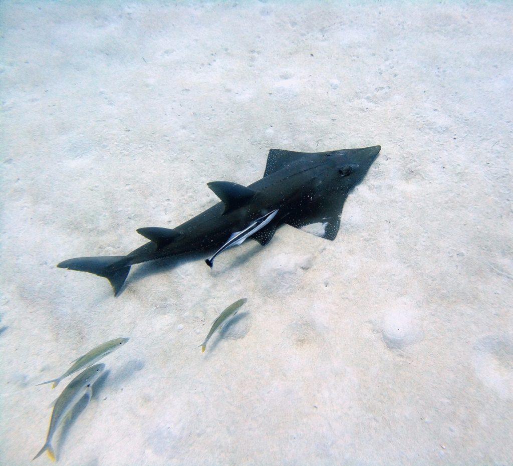 Guitar Shark in Mauritius