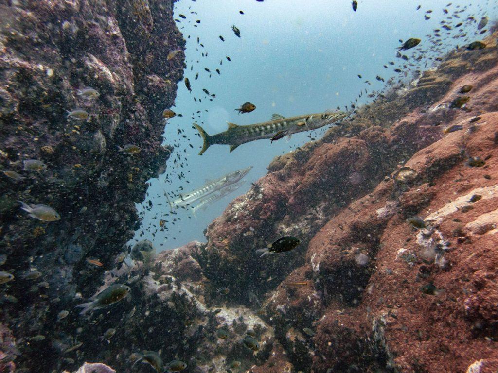 Barracudas at Samran