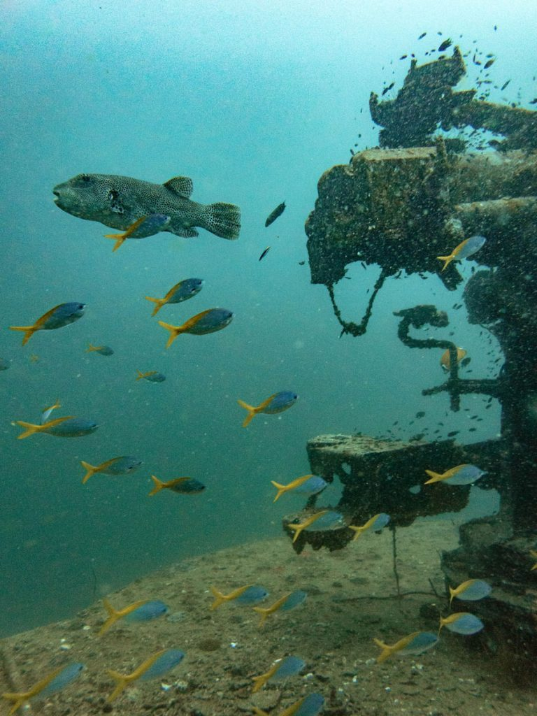 Pufferfish at Sattakut