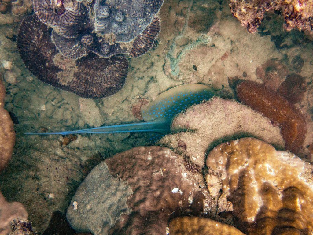 Blue-spotted stingray hidden under a rock
