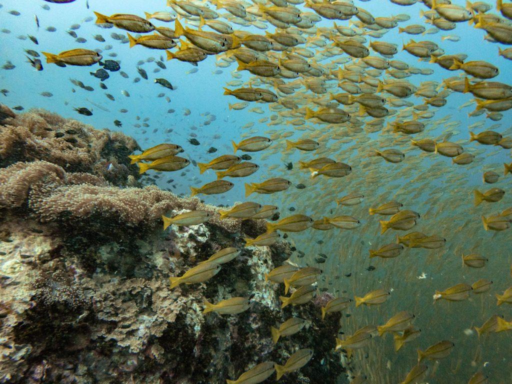 School of yellow fish at Chumphon Pinnacle