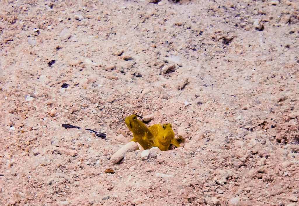Yellow gobies in the sand