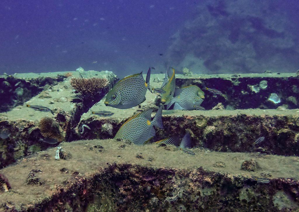 Reef cubes and fish at Mango Bay