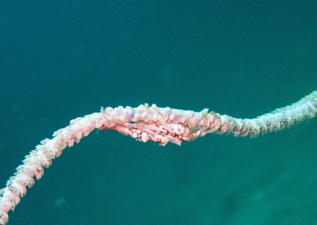 Shrimp on a coral